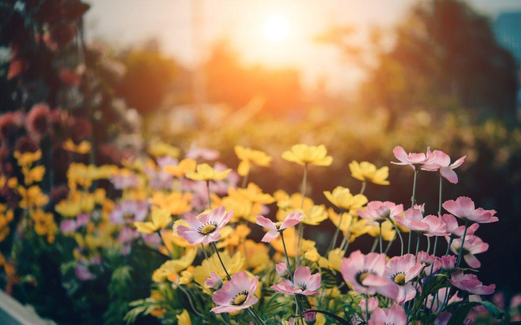 champs de fleurs sous coucher de soleil